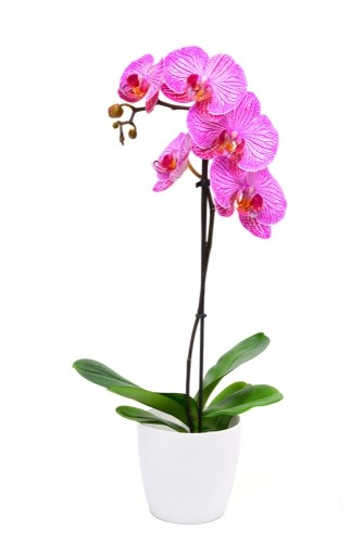Orchid Plant (PO3)