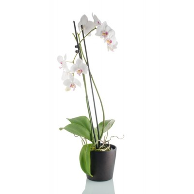 Orchid Plant (PO1