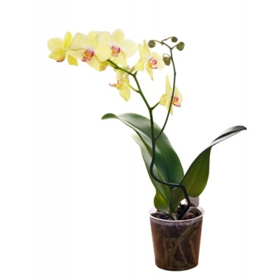 Orchid Plant (PO2)